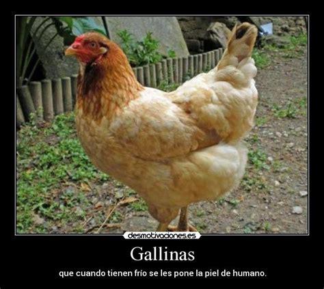 imagenes de gallos con frases newhairstylesformen2014 com imagenes de gallos con frases graciosas gallinas