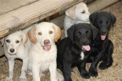 golden retriever lab mix puppy mix golden labrador retriever puppies available buy and sell other sydney