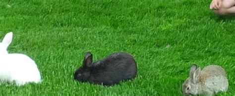 the rabbit the solution to our domesticated issues books blackburnnews a solution to ridgetown s rabbit problem