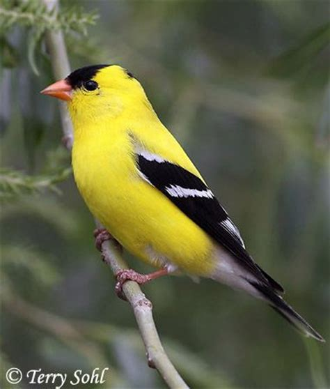 the backyard bird company 52 best goldfinch images on pinterest