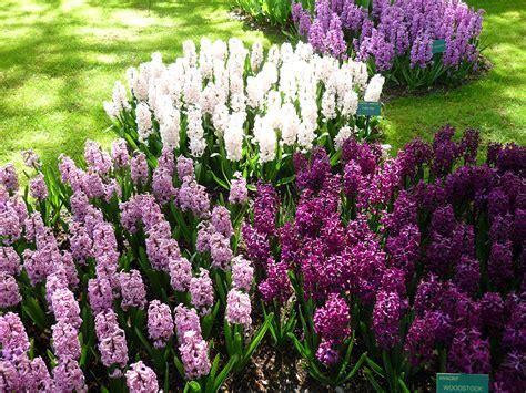 Pflegeleichte Blumen Garten by Fotos Niederlande Keukenhof Gardens Blumen Garten