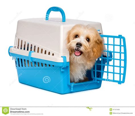 crate havanese puppies happy havanese puppy is looking out from a pet crate stock photo image