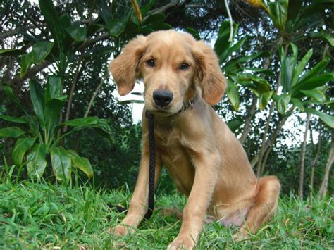 vizsla golden retriever mix for sale golden retriever doberman mix about animals