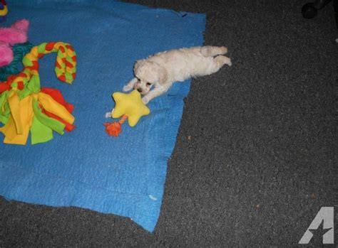 puppies lafayette indiana poodle puppies for sale in lafayette indiana classified americanlisted