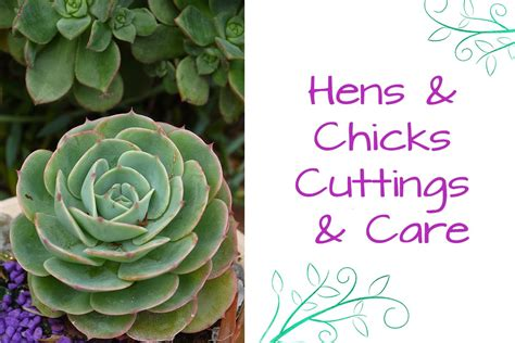 top 28 how to take care of hens and plants hens and