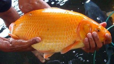 buat umpan ikan mas sederhana pilihan umpan ikan mas buat yang hobi memancing