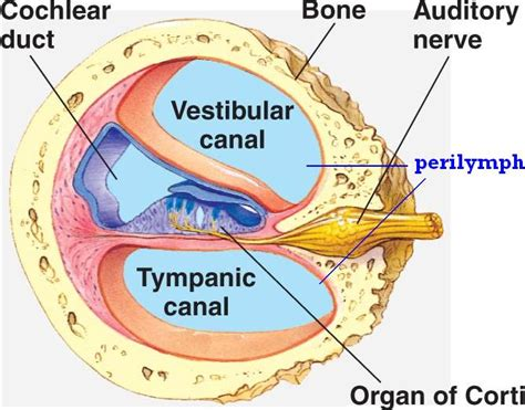 cross section of cochlea cochlea