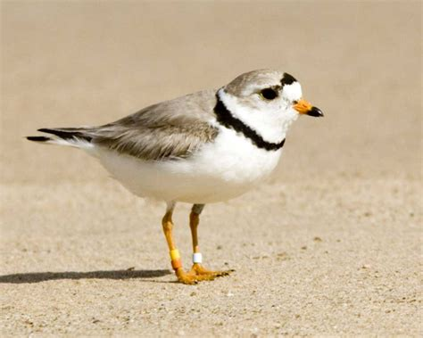 what is a bird piping plover audubon field guide