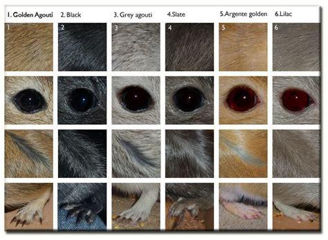 gerbil colors basic gerbil coat colours gerbil care gerbil hamster