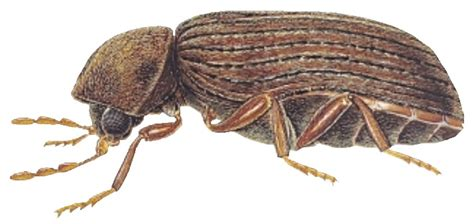 biscuit beetle in bedroom beetle ant tick and bug pest control pcc environmental belfast