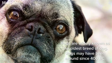 pug facts for 16 totally true facts about pugs