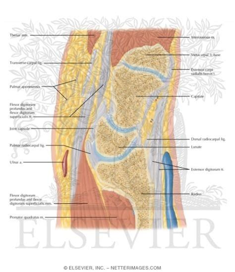 cross section of wrist cross section of the wrist sagittal view