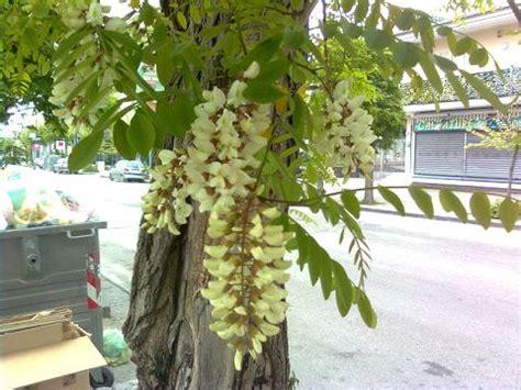 albero con fiori bianchi albero con fiori bianchi simili al glicine forum di