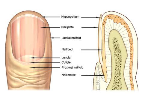 fingernail diagram fingernail diagram images search