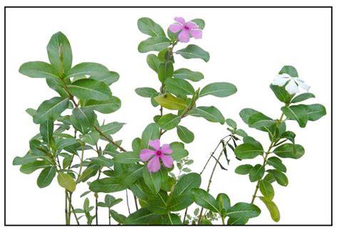 cadena de amor scientific name kinds of plants herbs with names www pixshark