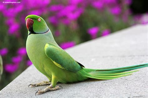 Indian Green by Green Indian Ringneck Www Pixshark Images