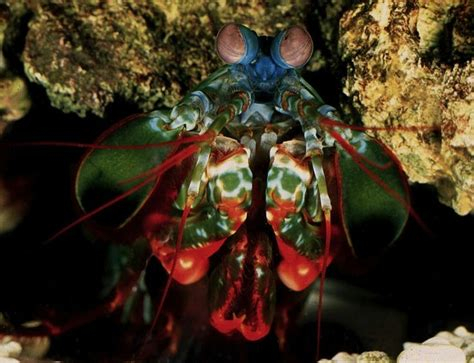 Neither Predator Nor Prey the mantis shrimp a predator that is neither a mantis nor