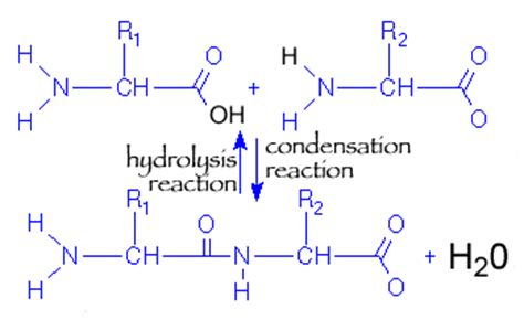 draw diagrams to illustrate condensation and hydrolysis reactions cornellbiochem condensation polymerization and dom