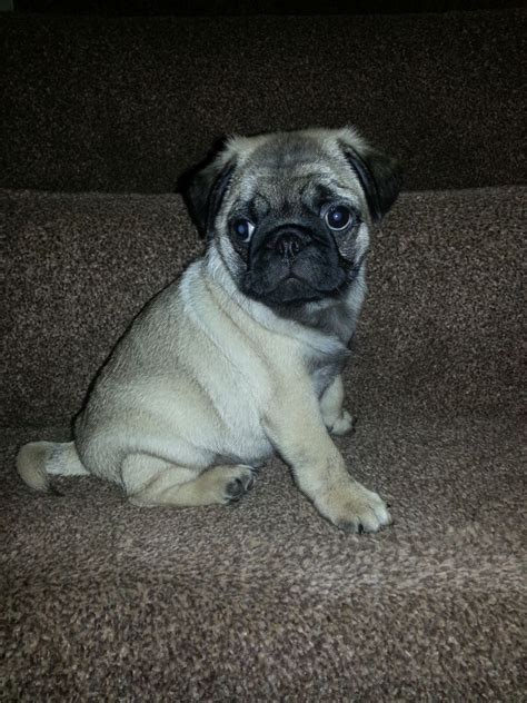 8 week pug puppy pedigree pug last one kc registered 8 weeks pontefract west pets4homes