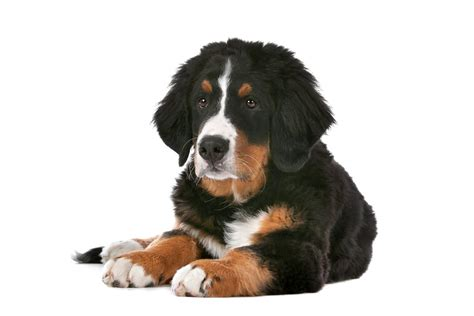 bernese mountain puppies colorado bernese mountain dogs breed information omlet