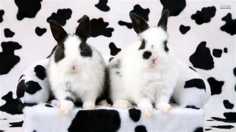 black and white rabbit wallpaper white rabbit wallpapers wallpaper cave