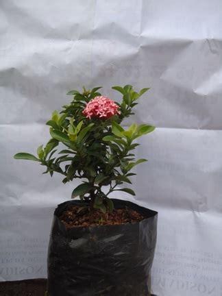 Pupuk Untuk Bunga Asoka asoka jambon jual tanaman hias jual desain landscape