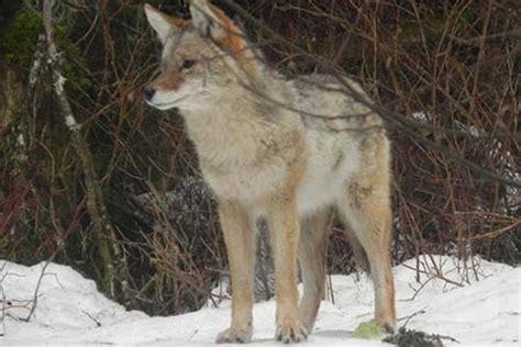 coyote species profile alaska department  fish  game