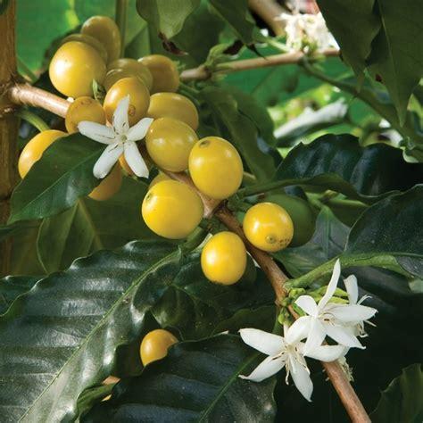 yellow cherry coffee coffea arabica nana