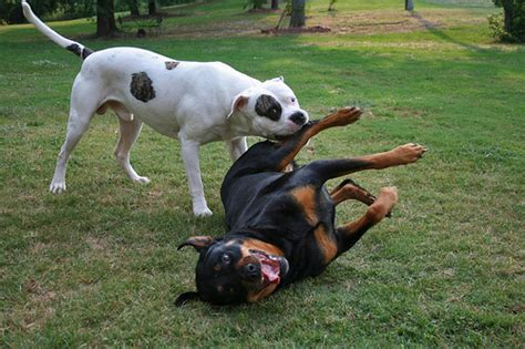 pitbull vs rottweiler fight pitbull vs rottweiler fight