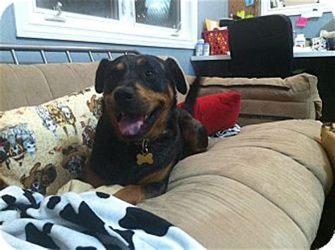 catahoula rottweiler mix booker adopted valley ca catahoula leopard rottweiler mix