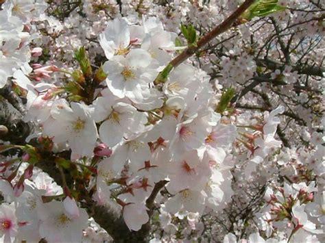 jual bibit tanaman bunga sakura putih  lapak kebonbibit