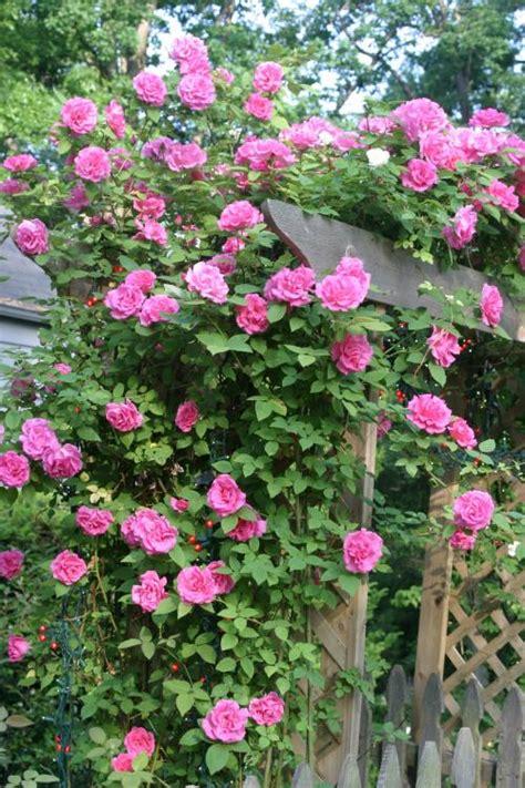 Benih Bibit Bunga Mawar Rambat Climbing Seeds Import jual benih mawar rambat import climbing seed summerlandhips store