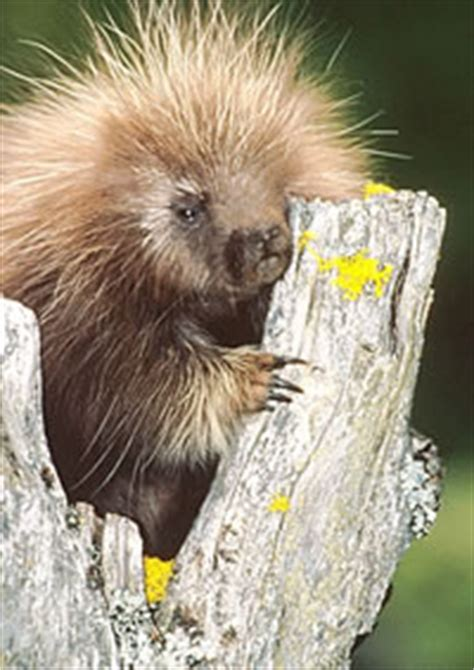 Reflections On The Of A Porcupine And Other Essays by Walking Worthy Attempts At Honesty