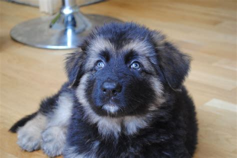 haired black and german shepherd puppies for sale german hair puppies 28 images coat german shepherd puppy for sale coat german