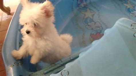 maltipoo pomeranian tiny teacup maltipoo pomeranian puppy sliding in the pool part 1