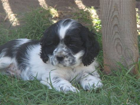 cocker spaniel puppies for adoption spaniels for adoption