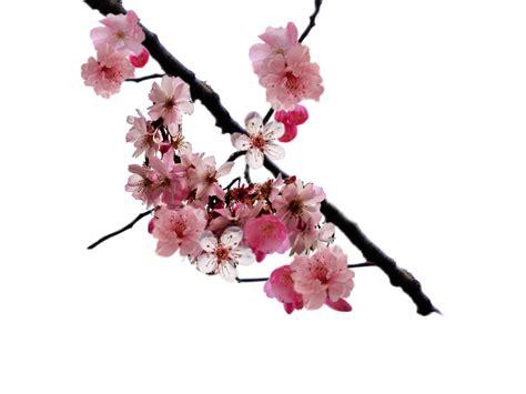 Cherry Blossom Branch Cherry Blossom Branch Png By Doloresminette On Deviantart