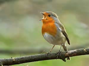 the robin mating habits behaviour song saga