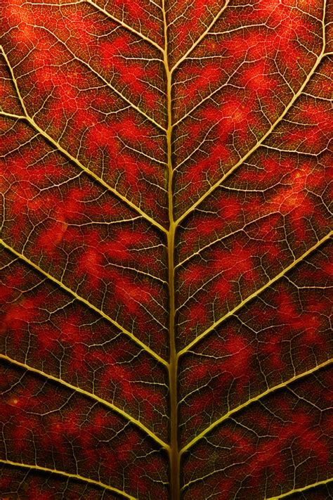 patterns in nature leaf structure and function backlit close up of a smoke tree leaf tree leaves