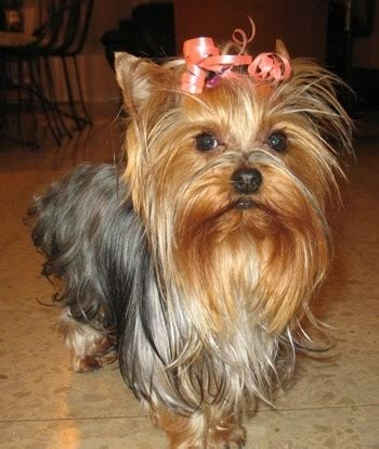 information about yorkie puppies pin yorkies information image search results on