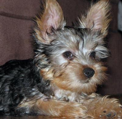 silky terrier puppy best 25 silky terrier ideas on terrier haircut yorkie cuts and