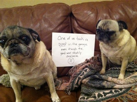 pug yelling at owner pug shame stuff pet accessories animal and animal