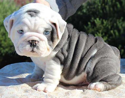 imagenes de cachorros bulldog ingles tipos de bulldogs frances ingl 233 s y americano