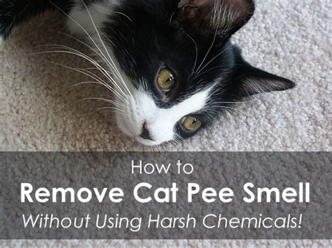 How To Remove Cat Urine From by Removing Cat Smell From Carpet Cleaning Heroes