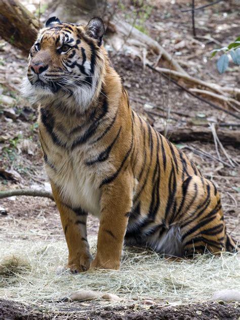 tiger species bing images
