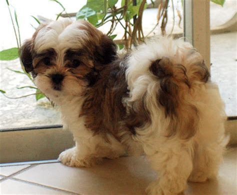 brown maltese shih tzu brown white terrier maltese puppy pictures breeds picture