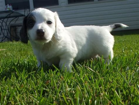 white dachshund puppies