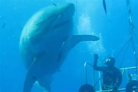 what is the largest great white shark ever recorded primer scientist high fives one of the largest great white sharks