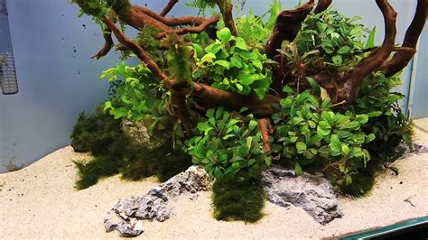 How To Aquascape by How To Aquascaping A Uns 60u Bucephalandra Nature Style