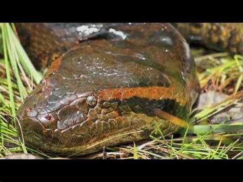 film anaconda di kalimantan ular terbesar di dunia ada di kalimantan phim video clip